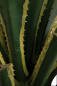 Preview: Agave-Exotica 2 fach; ca.160 cm.