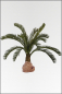 Mobile Preview: Cycas Palmestock; 15 fach; 110 cm
