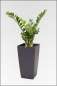 Mobile Preview: Smaragd Zamioculcas Pflanze; ca.110 cm.
