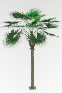 Fächerpalme Washingtonia; ca. 320 cm.