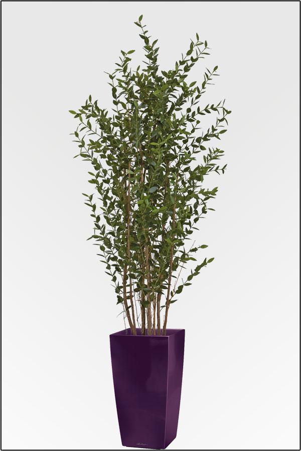 eukalyptus pflanze kaufen elegant bronchitis am hufigsten. Black Bedroom Furniture Sets. Home Design Ideas